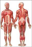 anatomie sportgerelateerd,sportmassage